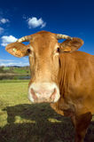 1032 cow Stock Photo