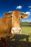 1032 krowa Zdjęcie Stock