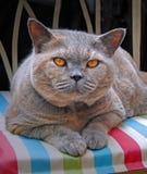 10th Anniversary For Birth Of Pedigree British Shorthair Cat Stock Image