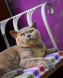 10th Anniversary For Birth Of Pedigree British Shorthair Cat Stock Photos