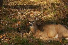 11个大型装配架点白尾鹿 免版税图库摄影