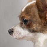 11个奇瓦瓦狗接近的月 免版税库存图片