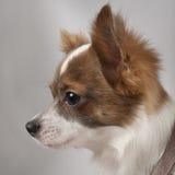 11个奇瓦瓦狗接近的月 免版税库存照片