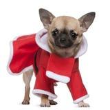11个奇瓦瓦狗月装备圣诞老人 免版税库存图片