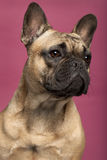 11个牛头犬接近的法国月 免版税库存图片