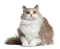 11个英国猫长发月 库存照片