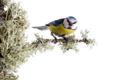 11北美山雀 免版税图库摄影