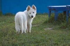 11只狗绵羊瑞士白色 免版税库存照片