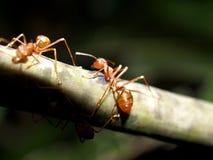 11只蚂蚁红色 库存图片