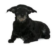 11品种狗混杂的老年 免版税库存照片