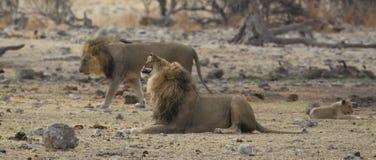 11头狮子自豪感 库存图片