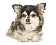 11奇瓦瓦狗头发的长的年 免版税库存照片