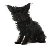 11奇瓦瓦狗头发老被弄乱的年 库存图片
