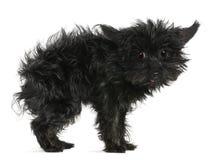 11奇瓦瓦狗头发老被弄乱的年 免版税库存图片