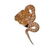11有毒的蛇 免版税库存照片
