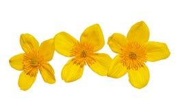11朵花kingcup 免版税库存照片