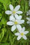11朵银莲花属花 库存图片