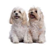 11条狗马尔他老气喘坐二年 免版税库存照片