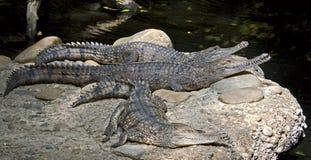 11澳大利亚鳄鱼 库存图片