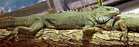 11绿色鬣鳞蜥 库存图片