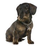11达克斯猎犬老坐的年 免版税库存照片