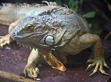 11鬣鳞蜥 免版税库存图片
