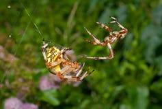 11 αράχνες φλερτ Στοκ Εικόνες