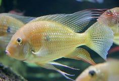 11 ψάρια ενυδρείων Στοκ Φωτογραφίες