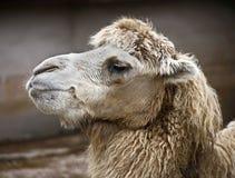 11 bactrian kamel Royaltyfri Fotografi