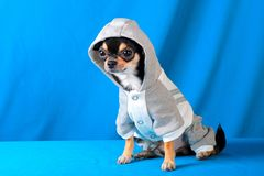 11 chihuahua Obrazy Royalty Free