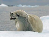 11 crabeater foka Zdjęcie Royalty Free