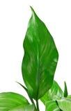 11 gröna leafs Royaltyfria Bilder
