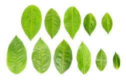 11 gröna leaves över white Arkivbild