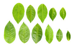 11 green leaves over white Stock Photography