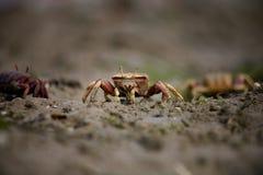 11 pugnax招潮蟹类 免版税库存照片