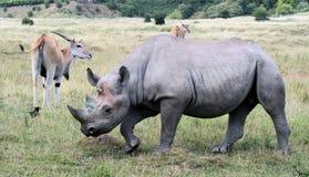 11 rhinocerous Стоковое Изображение RF