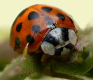 An 11 spot ladybird on bracken Stock Photo