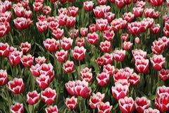 11 tulipan pola Obrazy Stock