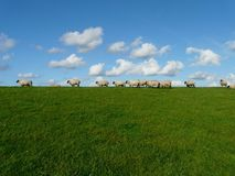 11 White Sheep in the Grass Field Royalty Free Stock Image
