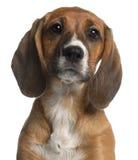 12个几星期的品种接近的混杂的老小狗 图库摄影