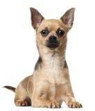 12个奇瓦瓦狗位于的月 库存图片
