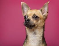 12个奇瓦瓦狗接近的月 库存照片