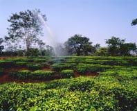 12个种植园茶 免版税库存图片
