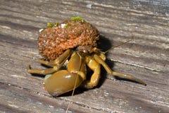 12个螃蟹隐士 免版税库存图片