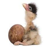 12南部长腿兀鹰小鸡时数年纪的开会 库存照片