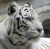 12只老虎白色 图库摄影