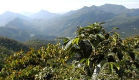 12咖啡危地马拉种植园 免版税库存图片