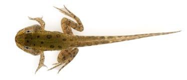 12在可食的esculenta青蛙老蛙属星期附近 图库摄影