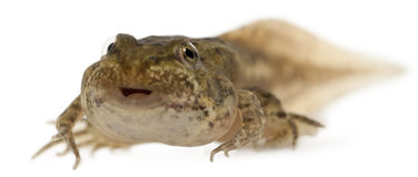 12在可食的esculenta青蛙老蛙属星期附近 免版税库存图片