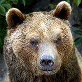 12头熊褐色 免版税库存照片